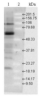 Western blot - Hsp70 antibody (ab79852)