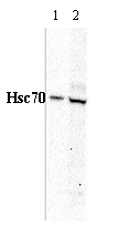 Western blot - Hsc70 antibody (ab79857)
