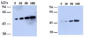 Western blot - NEK2 antibody (ab79903)
