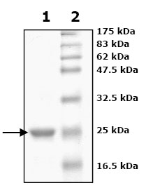 SDS-PAGE - Peroxiredoxin 2 protein (Active) (ab79947)