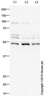 Western blot - NOX4 antibody (ab79971)