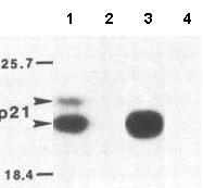 Immunoprecipitation - Ras antibody (ab79973)
