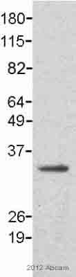 Western blot - Anti-CDK1 antibody [POH-1] (ab8040)