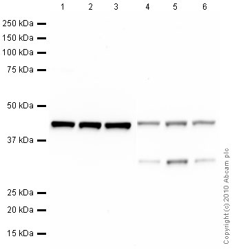 Western blot - beta Actin antibody [mAbcam 8226] - Loading Control (ab8226)