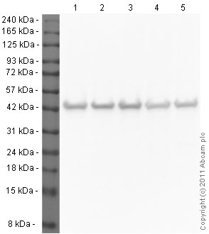 Western blot - Anti-beta Actin antibody [mAbcam 8226] - Loading Control (ab8226)