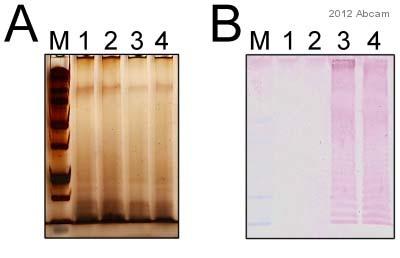 Western blot - Anti-Salmonella typhimurium 0-4 antibody [1E6] (ab8274)
