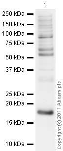 Western blot - Anti-Histone H3 (asymmetric di methyl R17) antibody - ChIP Grade (ab8284)