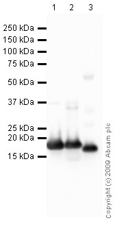 Western blot - Myoglobin antibody [4E2] (ab8343)