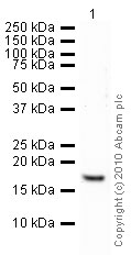 Western blot - Histone H3 (tri methyl K4) antibody - ChIP Grade (ab8580)