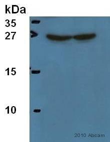 Western blot - Hsp27 antibody [B317] (ab8600)