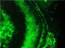 Immunocytochemistry/ Immunofluorescence - Anti-Cardiotin antibody [R2G] (ab8962)