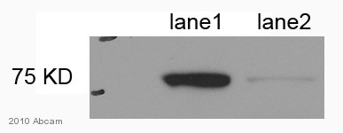Western blot - Lamin A antibody [133A2] - Nuclear Envelope Marker (ab8980)