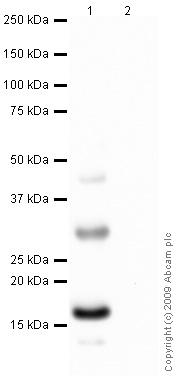Western blot - Histone H2A.Z antibody [4A4] (ab80150)