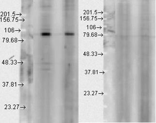 Western blot - Hsp90 beta antibody (ab80159)