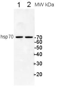 Western blot - Hsp70 + Hsc70 antibody (ab80177)