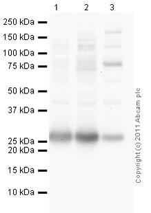 Western blot - Anti-Rab3A antibody (ab80192)