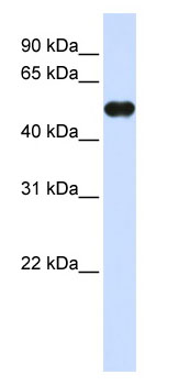 Western blot - MNDA antibody (ab80265)