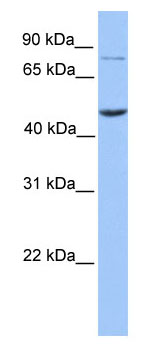 Western blot - ZBTB6 antibody (ab80270)