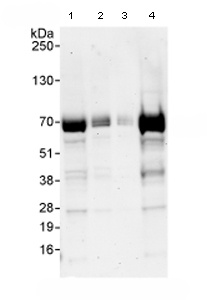 Western blot - FIP1L1 antibody (ab80272)
