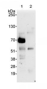 Immunoprecipitation - FIP1L1 antibody (ab80272)