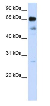 Western blot - ZNF490 antibody (ab80285)