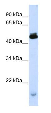 Western blot - PCMF antibody (ab80287)