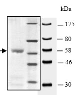 SDS-PAGE - KMT1B / SUV39H2 protein (Active) (ab80288)