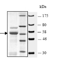 SDS-PAGE - KMT1A / SUV39H1 protein (Active) (ab80289)