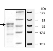 SDS-PAGE - PRMT1 protein (Active) (ab80293)