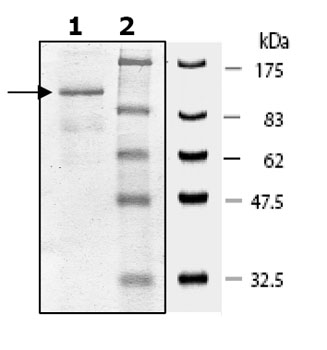 SDS-PAGE - PDE4C protein (Active) (ab80334)