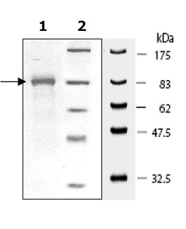SDS-PAGE - Hsp90 beta protein (His tag) (ab80353)