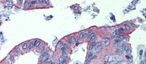 Immunohistochemistry (Formalin/PFA-fixed paraffin-embedded sections)-Anti-Abhd5 antibody(ab80365)