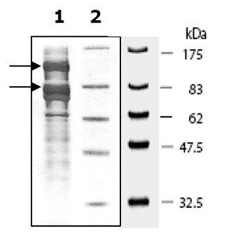 SDS-PAGE - PIK3CB + PIK3R1 protein (Active) (ab80378)
