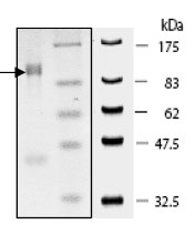 SDS-PAGE - KDM1 / LSD1 protein (Active) (ab80379)