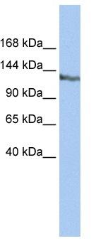 Western blot - Anti-SMARCAD1 antibody (ab80397)
