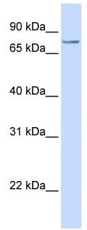 Western blot - SYDE1 antibody (ab80402)