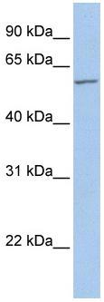 Western blot - FMO5 antibody (ab80441)