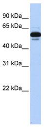 Western blot - Retinoid X Receptor alpha antibody (ab80453)
