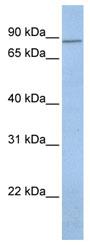 Western blot - KCNH7 antibody (ab80455)