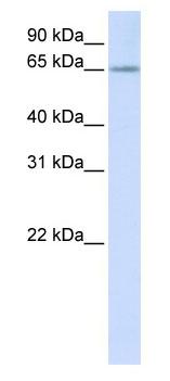 Western blot - RSPRY1 antibody (ab80459)