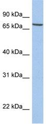 Western blot - SLC20A1 antibody (ab80465)