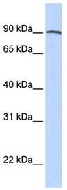 Western blot - PSMA antibody (ab80554)