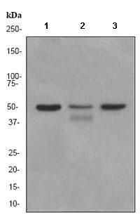 Western blot - PDCD4 antibody [EPR3431] (ab80590)