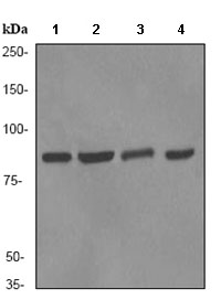 Western blot - Ku80 antibody [EPR3468] (ab80592)