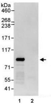 Immunoprecipitation - WDR91 antibody (ab80614)