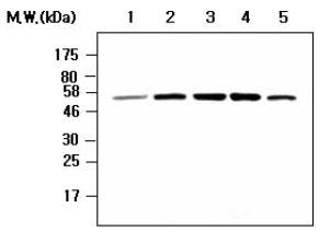 Western blot - Chk1 antibody [AF7H4] (ab80615)