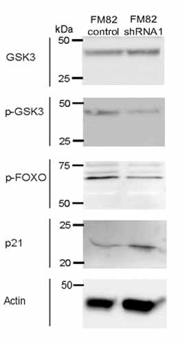 Western blot - Anti-p21 antibody [CP74] - BSA and Azide free (ab80633)