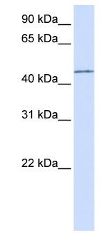 Western blot - PARVB antibody (ab80691)