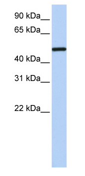 Western blot - COUP TF1 antibody (ab80698)