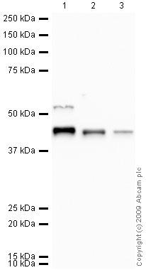 Western blot - Anti-Oct4 antibody (ab80700)
